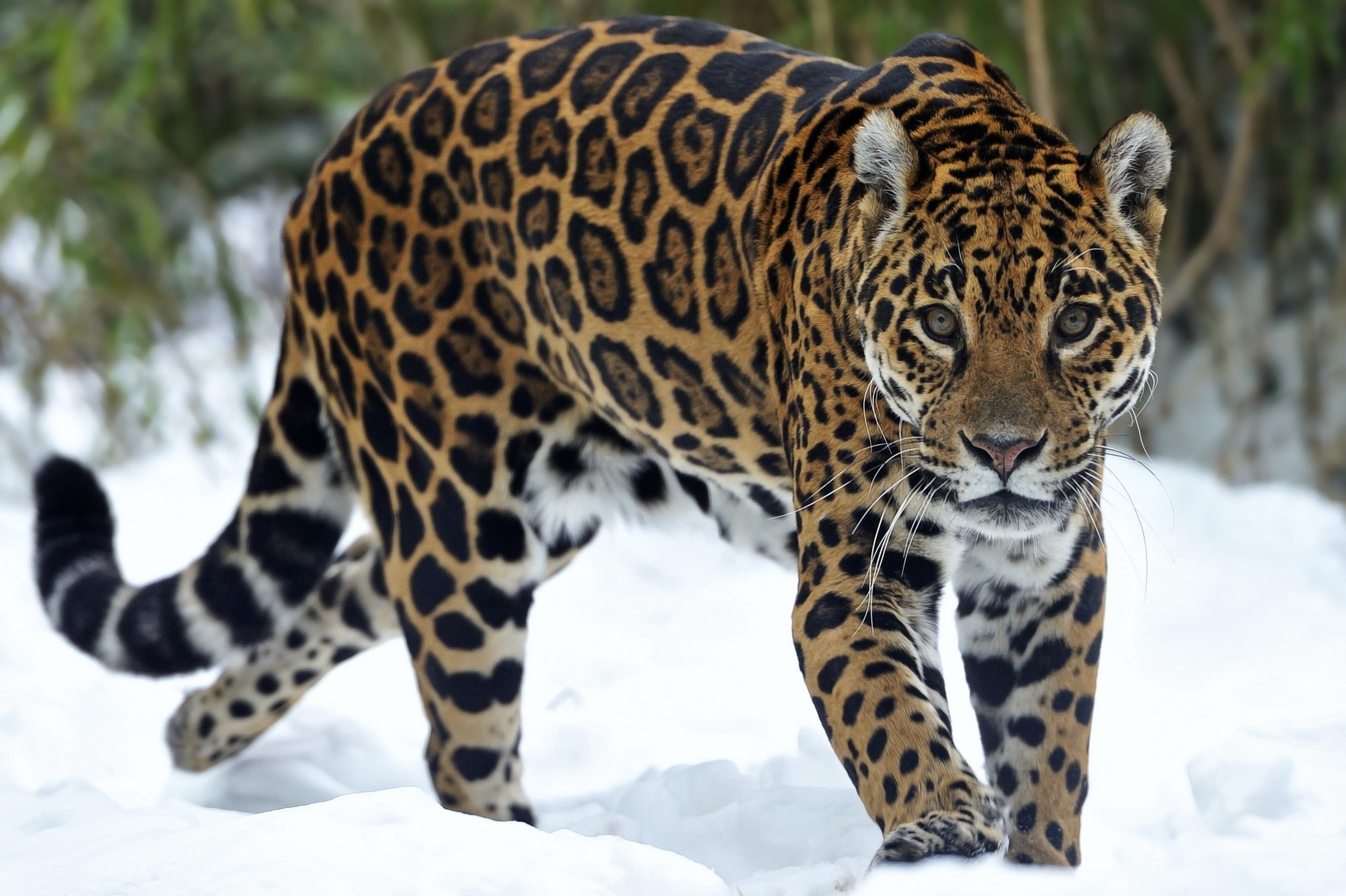 big cats jaguars glance snow animals wallpaper | 2560x1704 | 69604