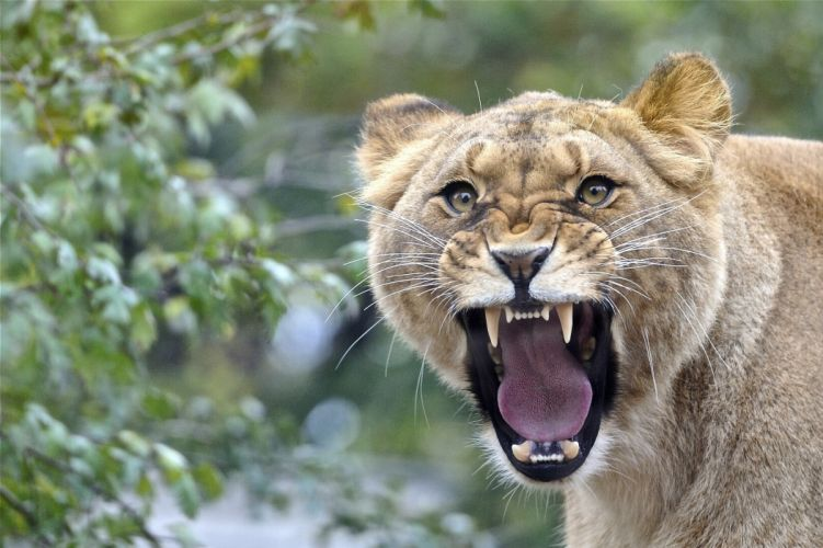 Big cats Lions Roar Glance Teeth Animals wallpaper