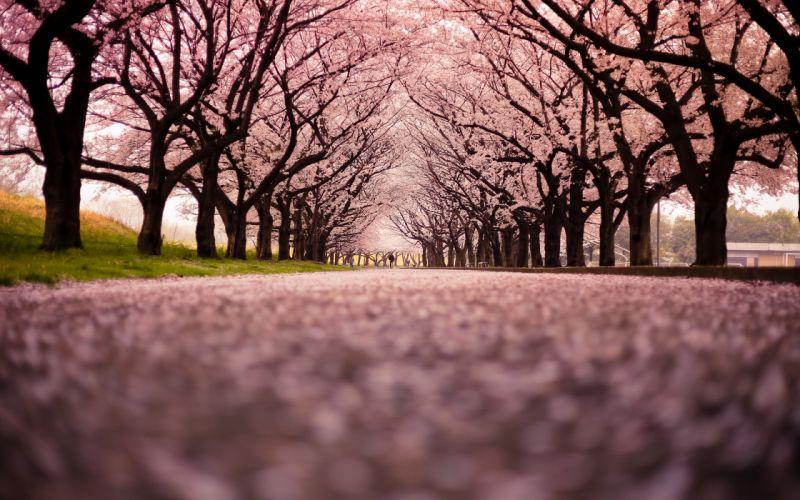 Cherry Blossom Flowers Tree Path Trail wallpaper