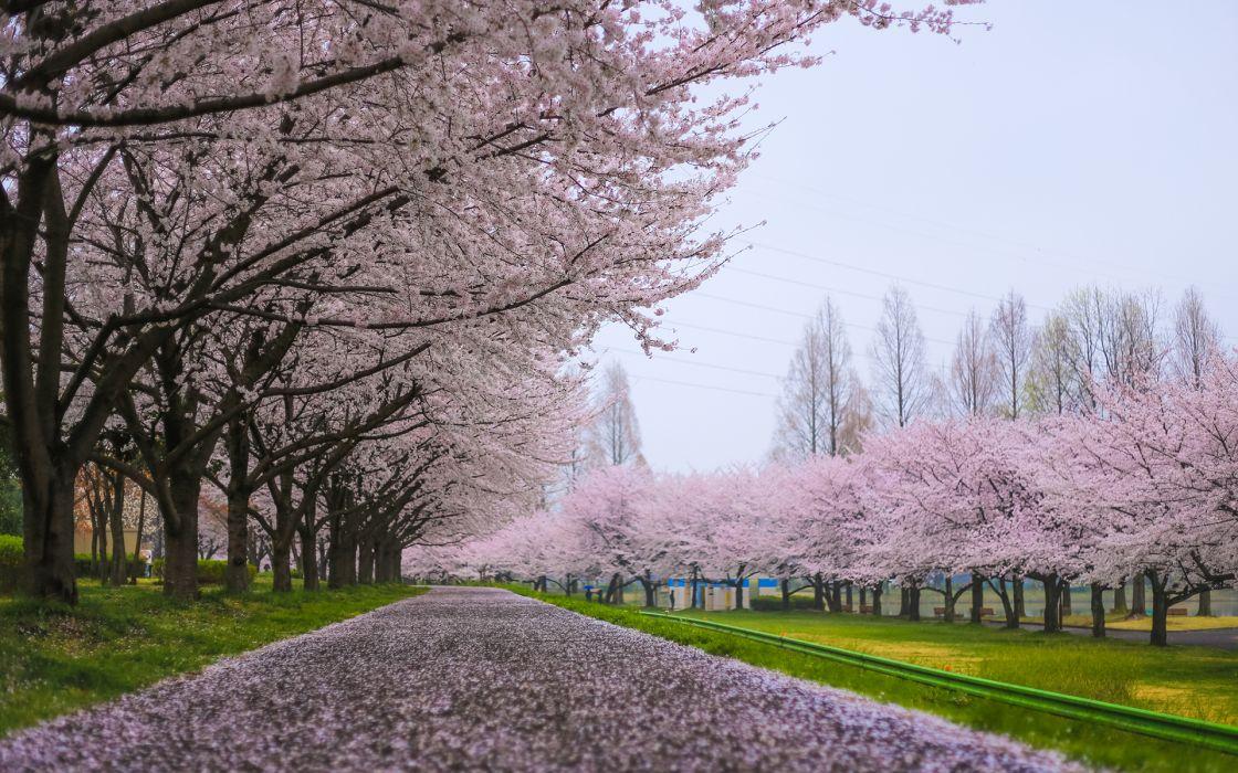 Cherry Blossom Flowers Tree Path Tree wallpaper