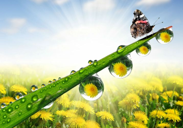 Butterflies Dandelions Drops Nature wallpaper