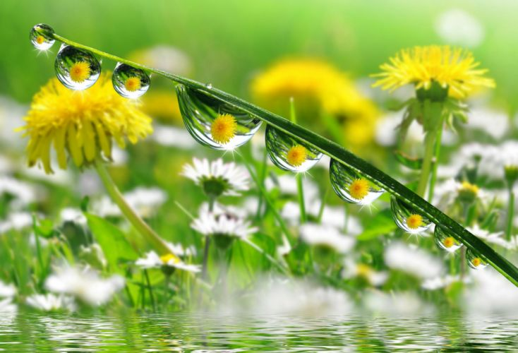 Dandelions Drops Nature flower wallpaper