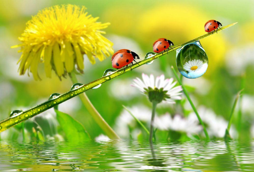 Dandelions Ladybugs Drops Nature flowers wallpaper