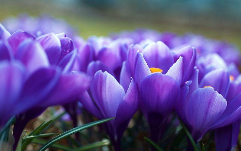 flowers spring purple crocuses wallpaper