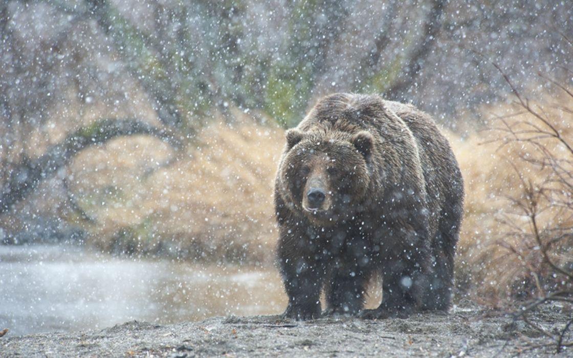 Kamchatka snow bear winter wallpaper