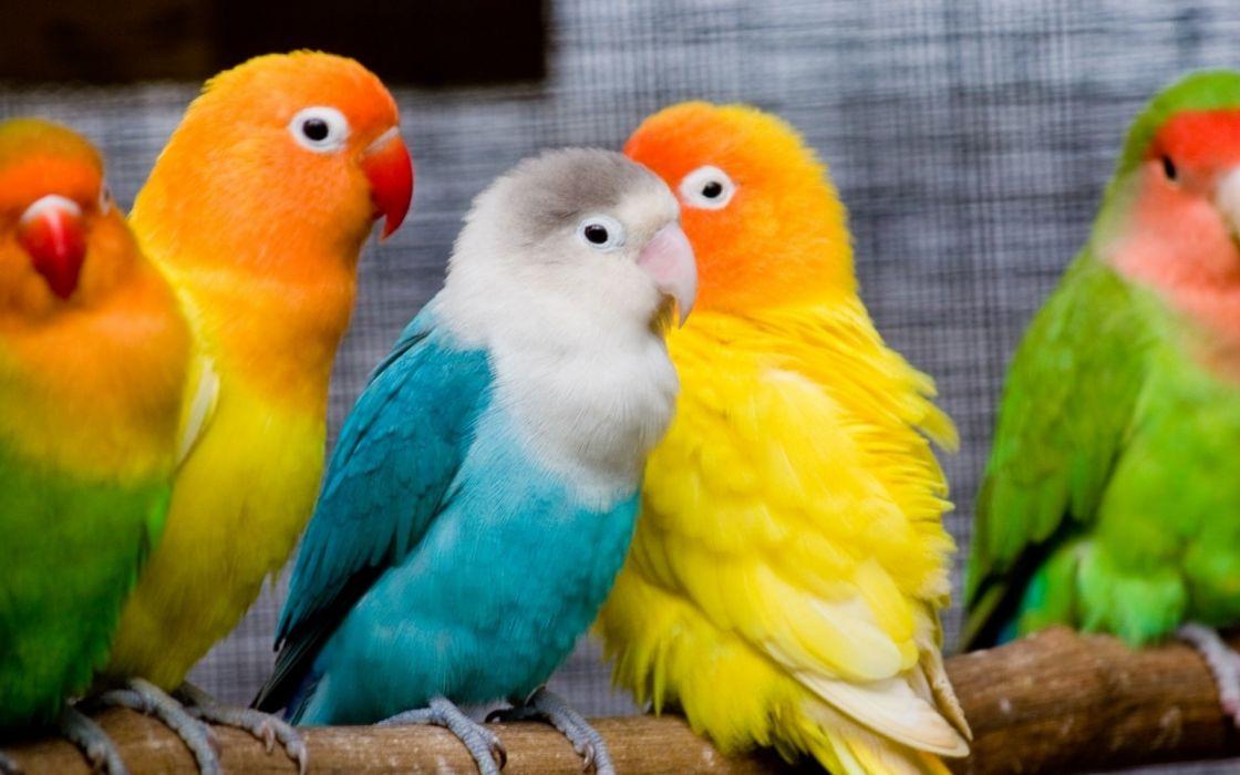 parrots love bird wallpaper