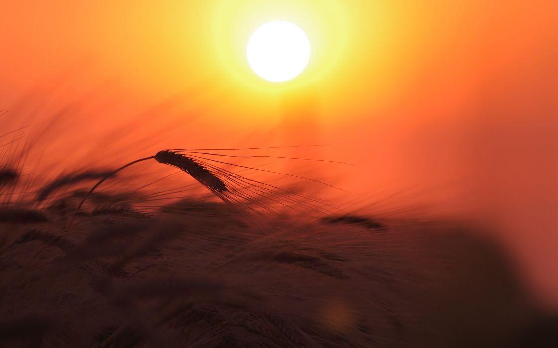 plant nature ears field wheat sun light sunset grass plants wallpaper