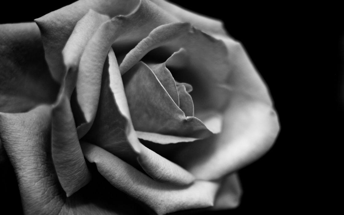 Rose Flower Macro BW wallpaper