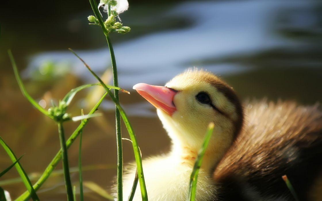duck  grass  beak  pond  water duckling wallpaper