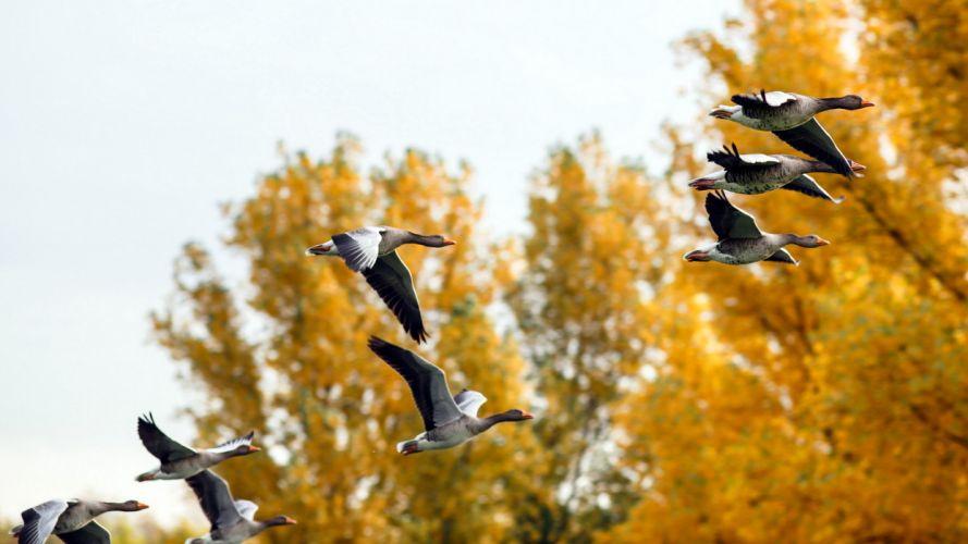 Ducks autumn nature wallpaper