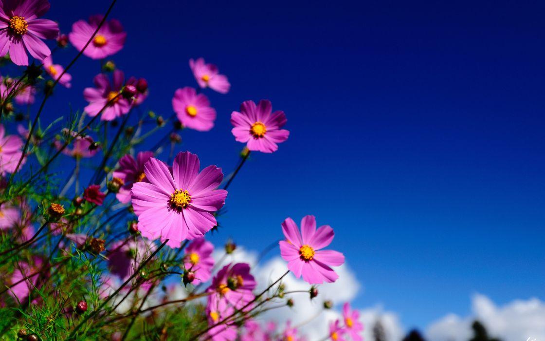 Flowers Kosmeya macro sky blurred wallpaper