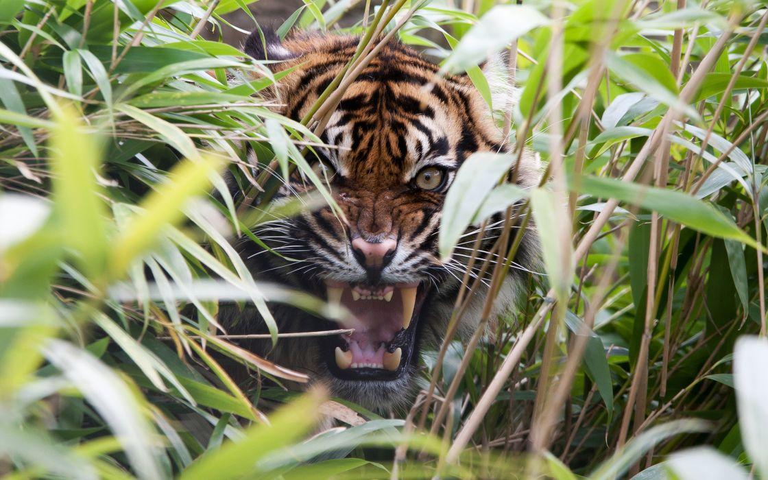 tiger predator grass mouth teeth rage cat wallpaper