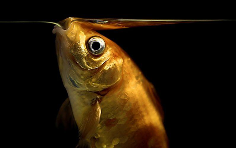 goldfish fishes underwater wallpaper