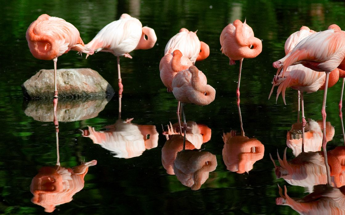 Flamingo Bird Sleep Reflection Water wallpaper