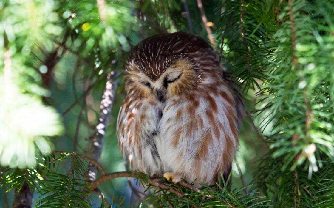 nature owl tree wallpaper