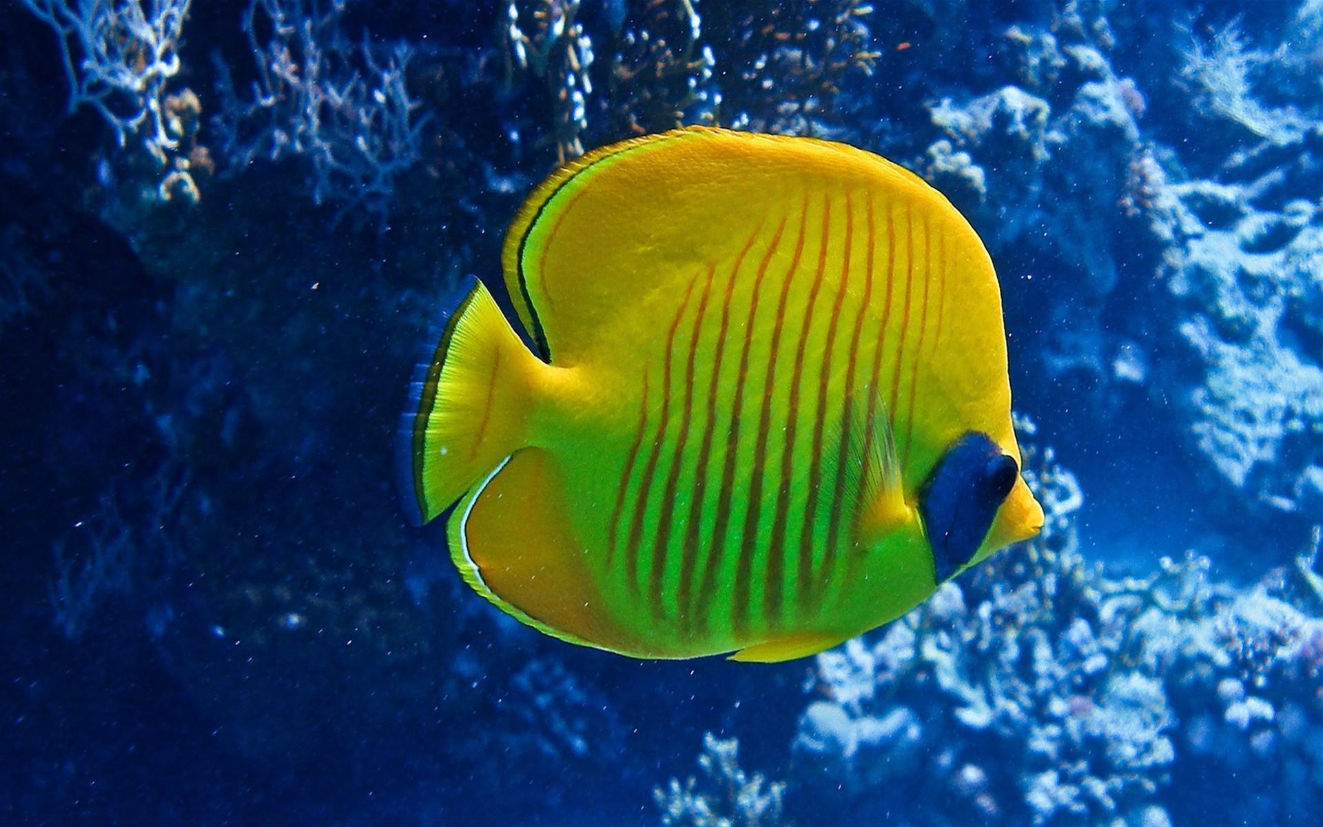 Желтая рыбка  № 1707650  скачать