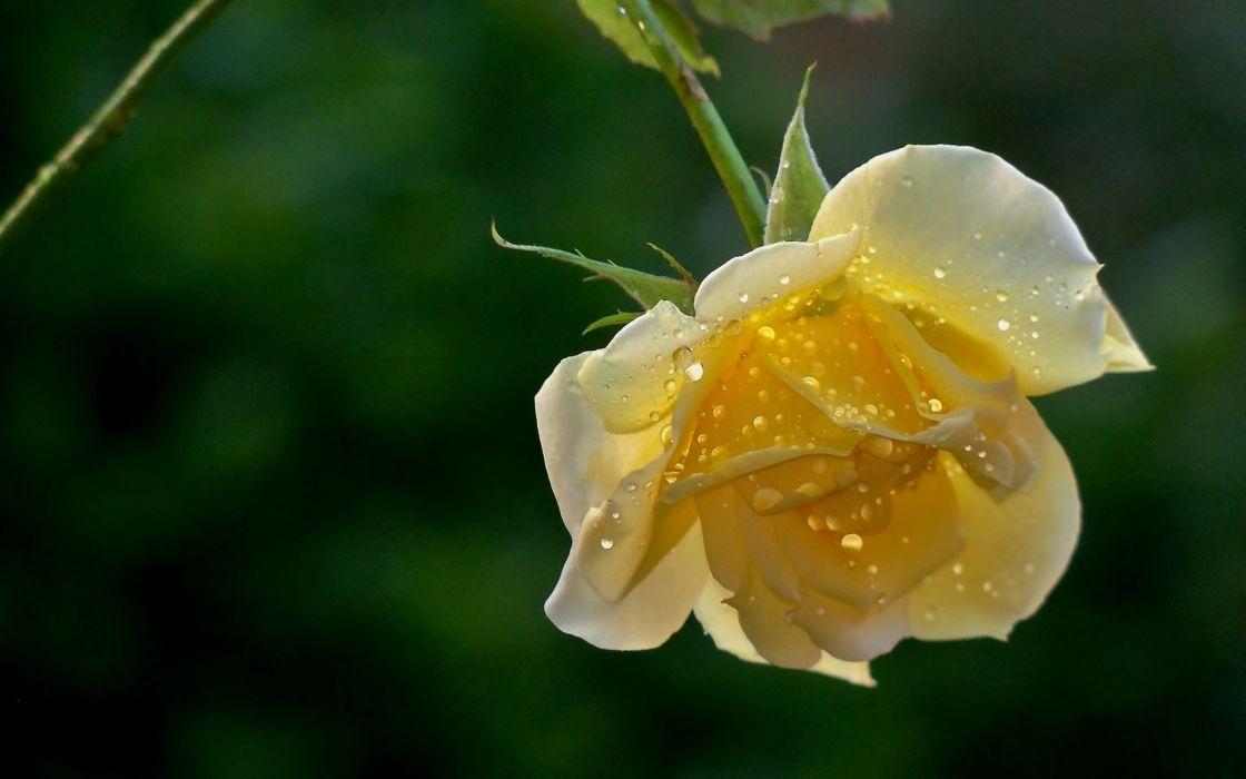 flowers drops roses wallpaper