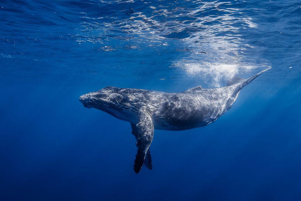 blue whaleocean sea underwater wallpaper