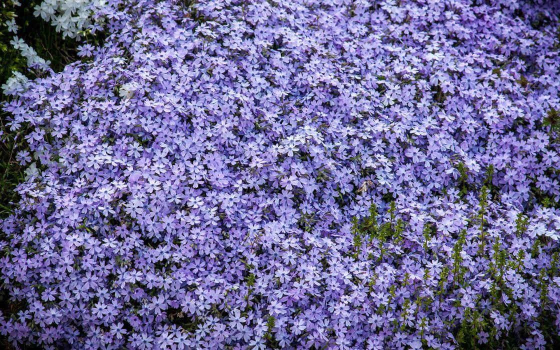 Flowers Purple wallpaper