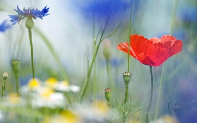 Poppy daisies cornflowers field field flowers close-up blurred macro wallpaper