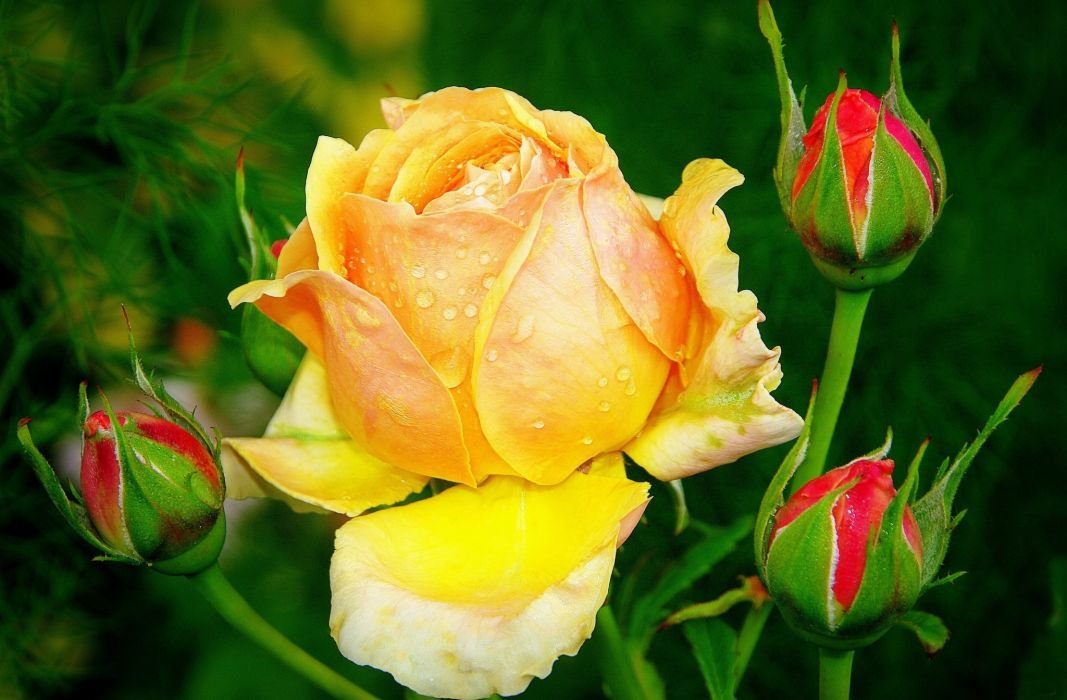 Roses Yellow Drops Flower buds Flowers wallpaper