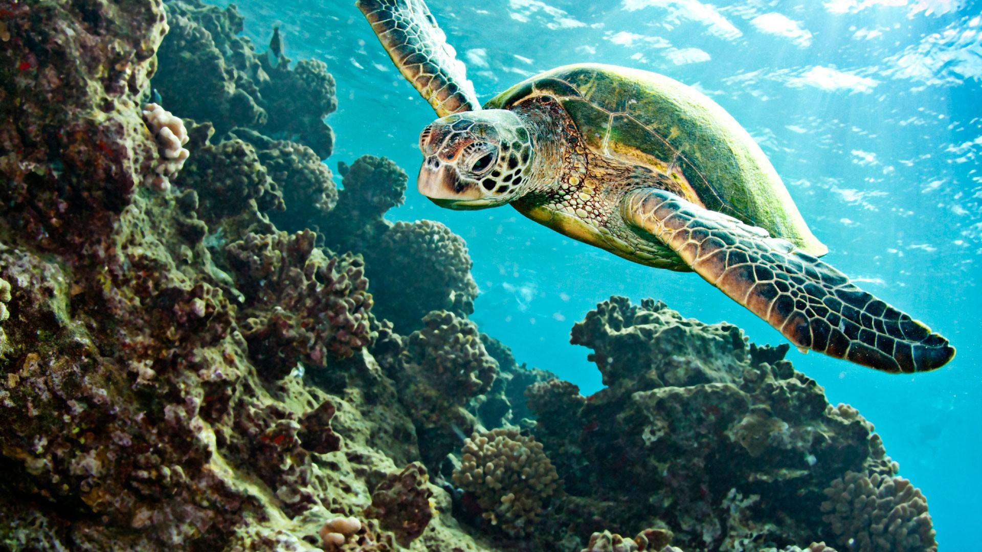 Turtle Tortoise Underwater Ocean Wallpaper 1920x1080 72605 Wallpaperup