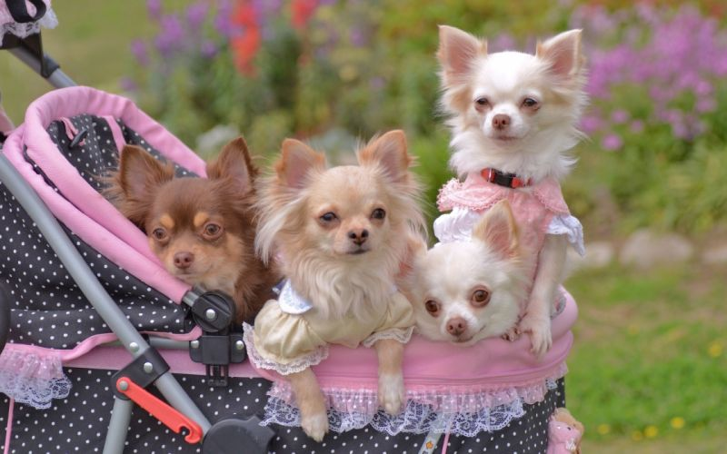 chihuahua stroller walk wallpaper