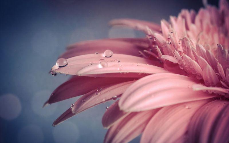 Flower Macro Water Drops Pink wallpaper