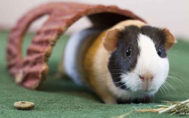 guinea pig rodent wallpaper