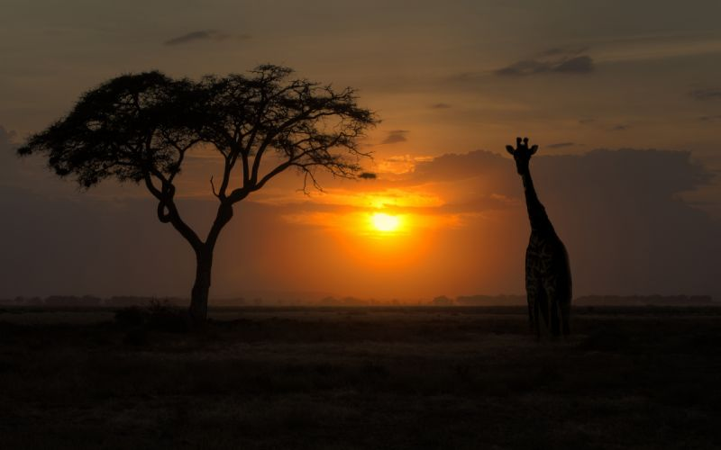 Sunset Giraffe Tree Silhouette Backlight wallpaper