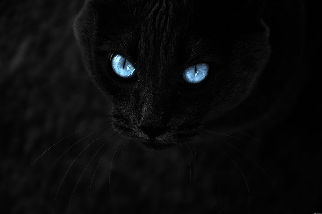 cats blue eyes animals pets wallpaper