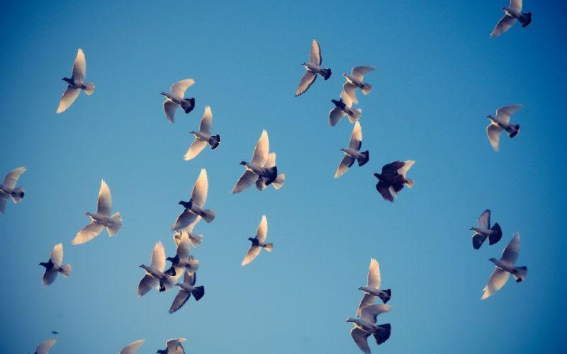 pigeons the sky flying wallpaper