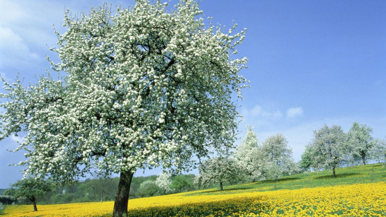 trees spring (season) dandelions wallpaper