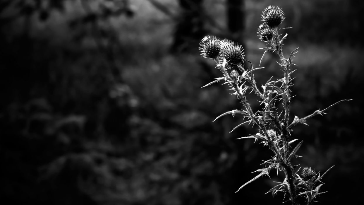 nature grayscale Thistles wallpaper