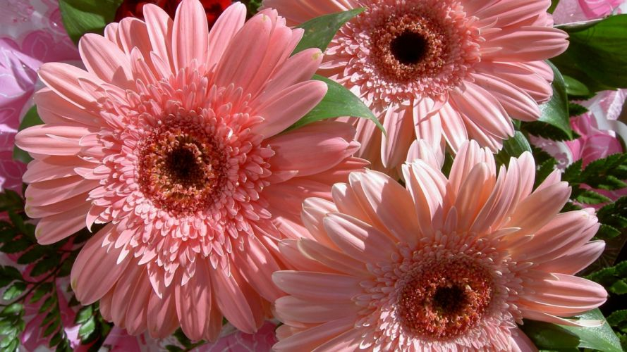 flower gerbera pink beautiful delicate nature wallpaper