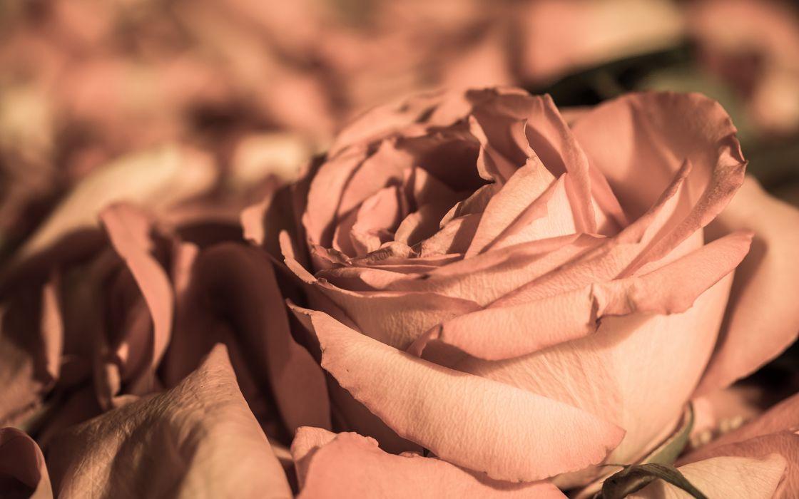 Flower Macro Rose wallpaper