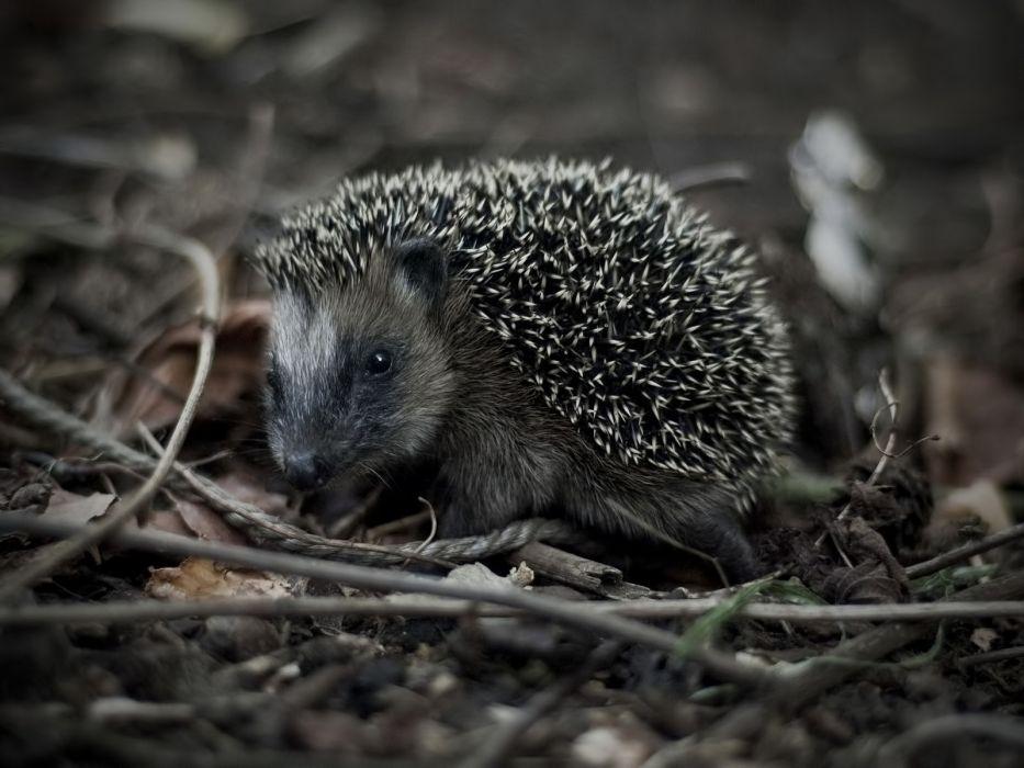 animals outdoors hedgehogs monochrome wallpaper
