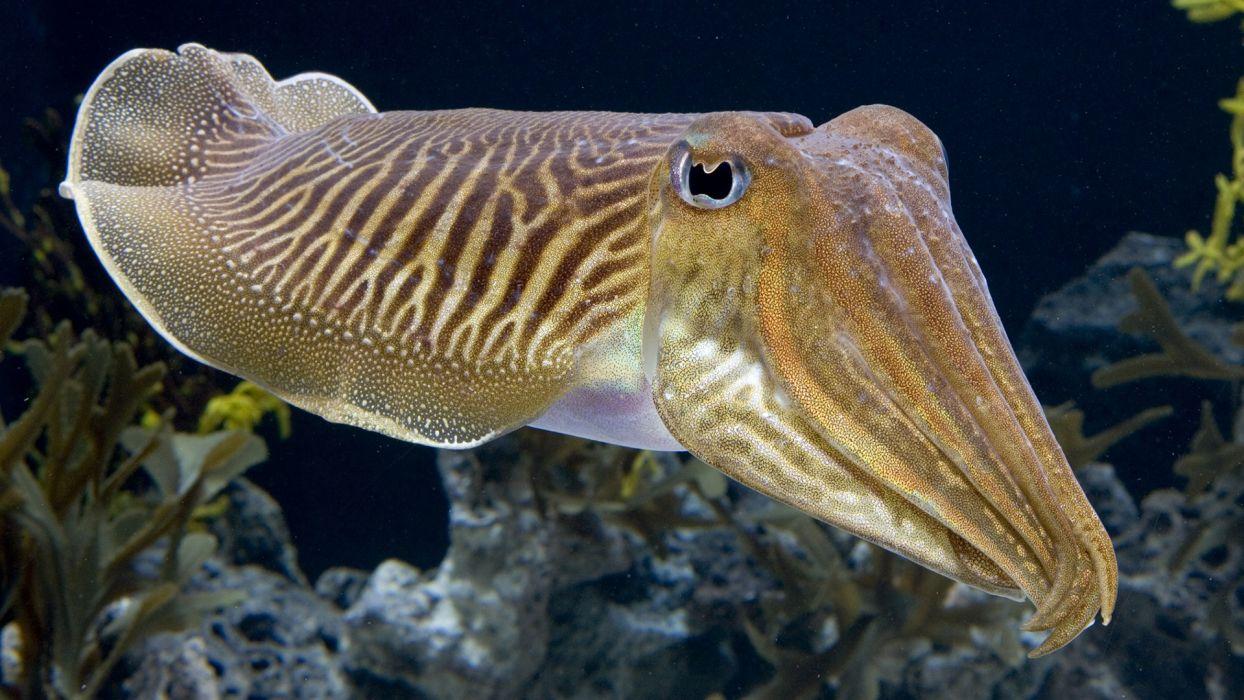 Cuttlefish Fish Underwater Ocean wallpaper