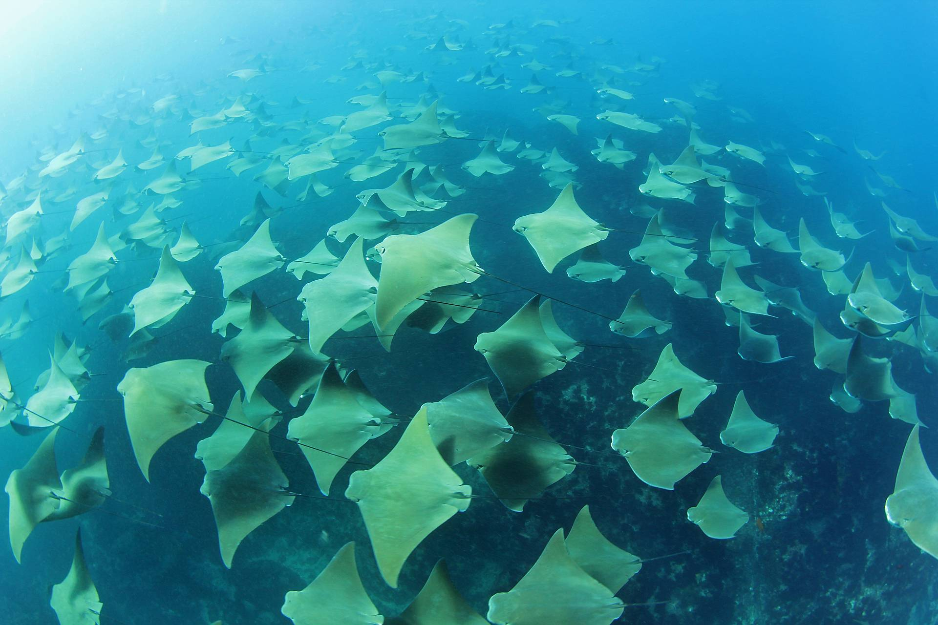Stingray underwater ocean blue wallpaper 1920x1280 for Florida cool