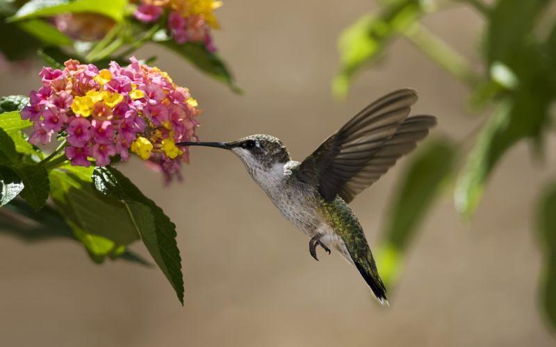 birds hummingbirds flowers nectar sunny leaves wallpaper