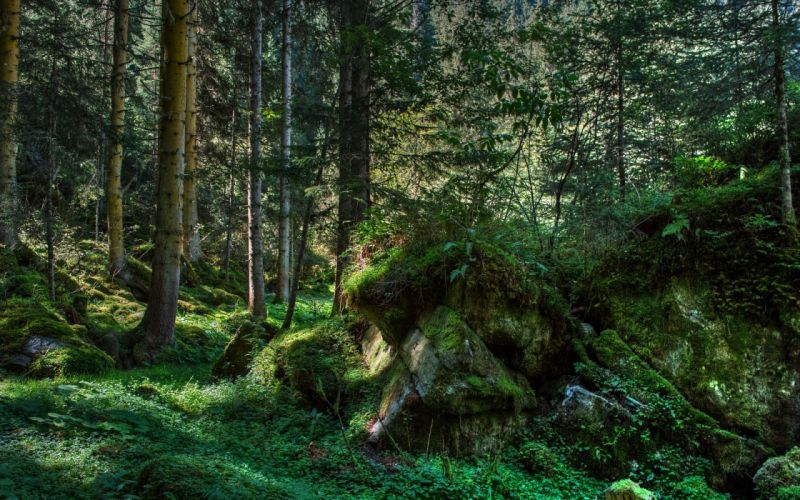 forest trees vegetation nature landscape wallpaper