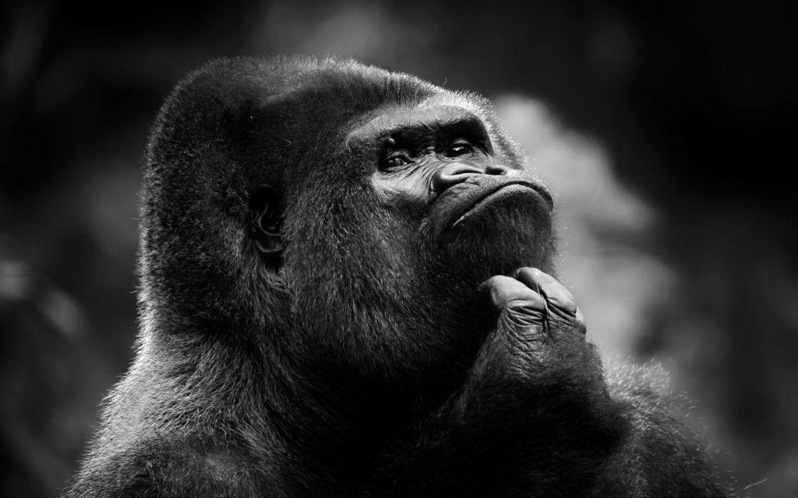 gorilla primate wallpaper