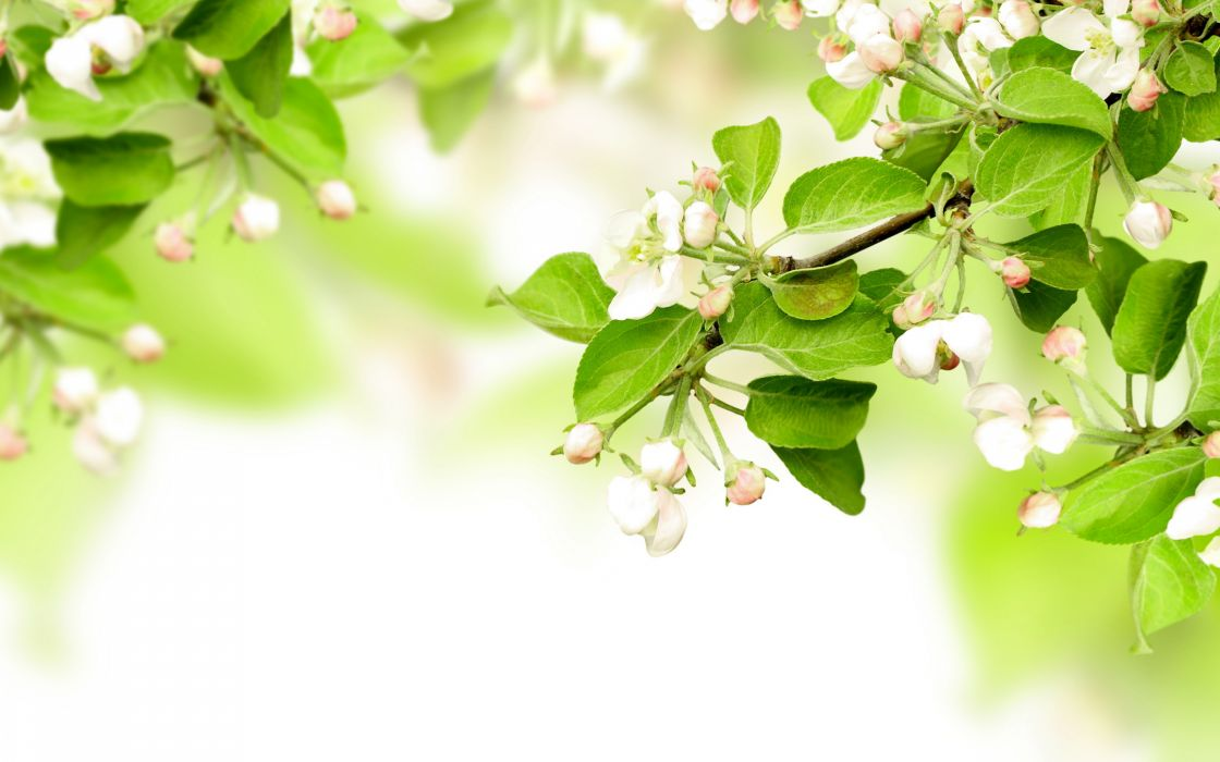 leaves spring flowers apples branches blossom wallpaper