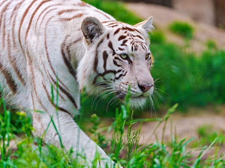 tiger face predator wallpaper