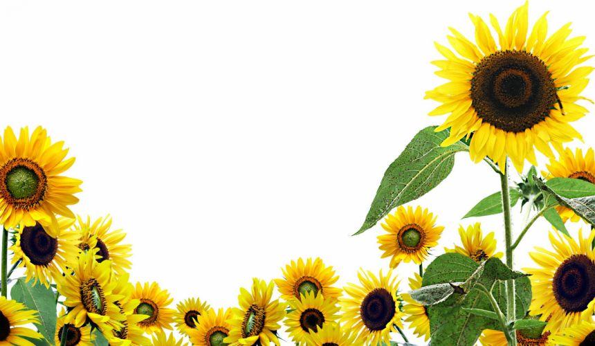 Sunflowers Flowers wallpaper