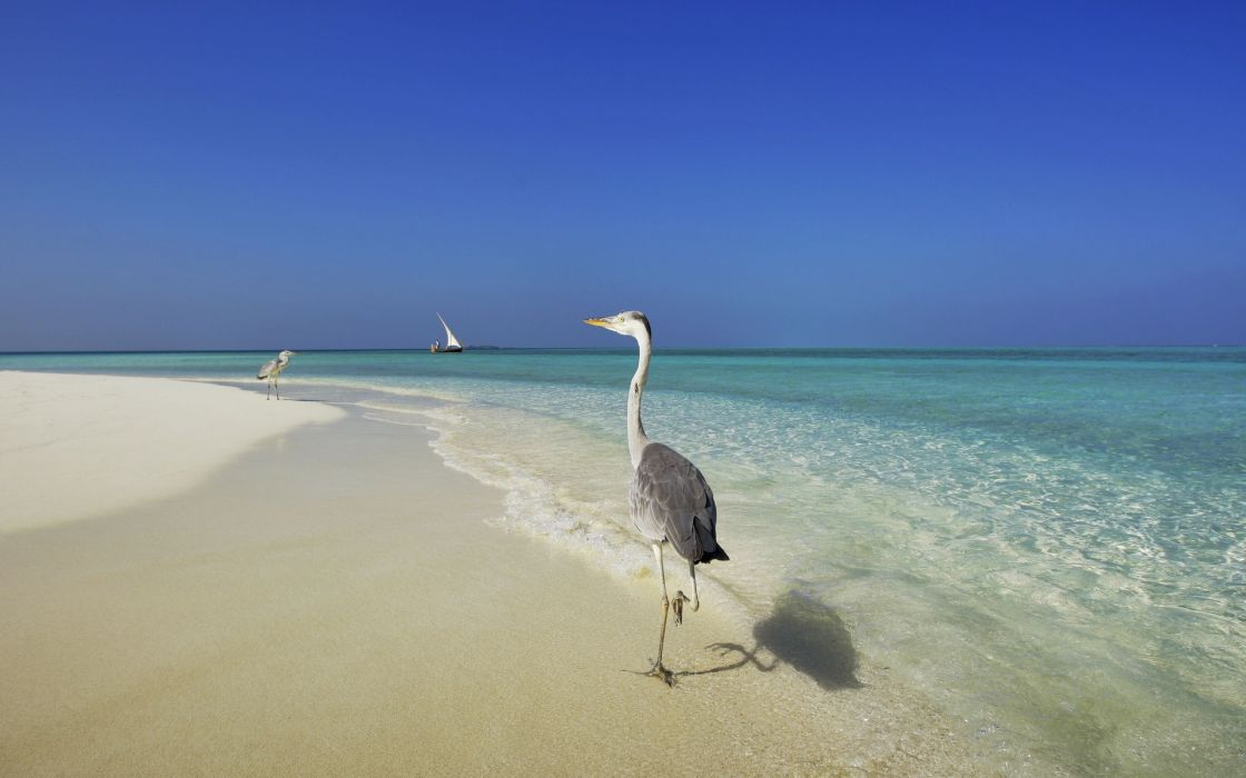 maldives sea shore herons beaches ocean wallpaper