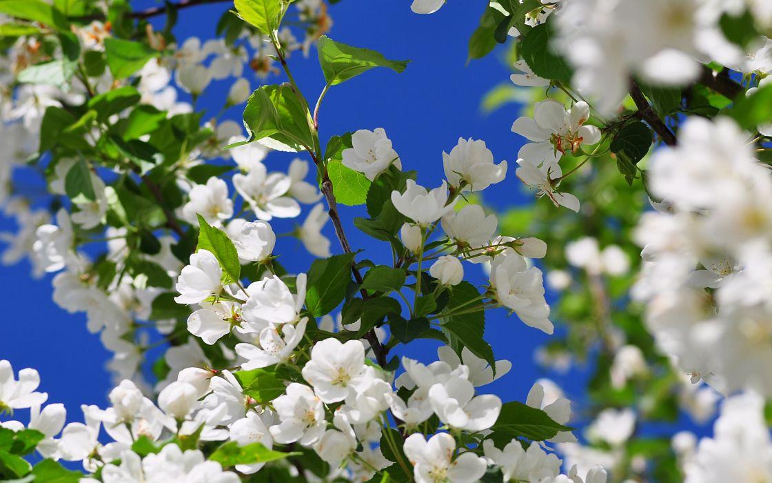 blossoms flowers trees     q wallpaper