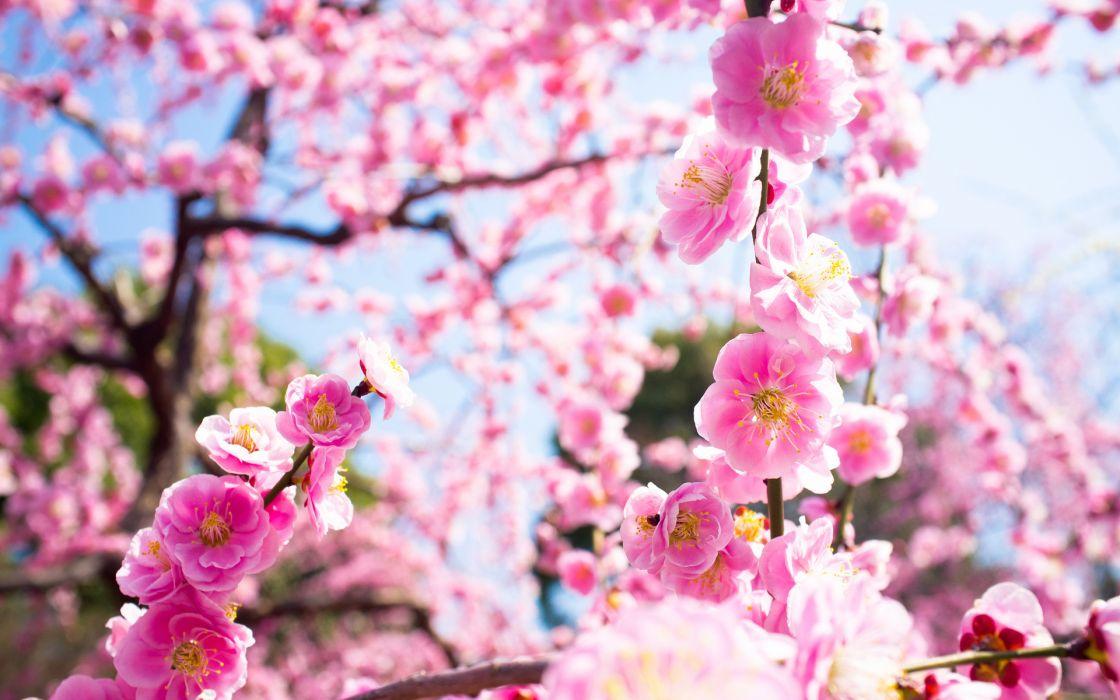 blossoms flowers trees wallpaper