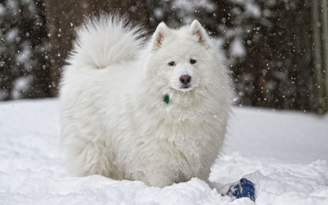 dog snow white winter wallpaper