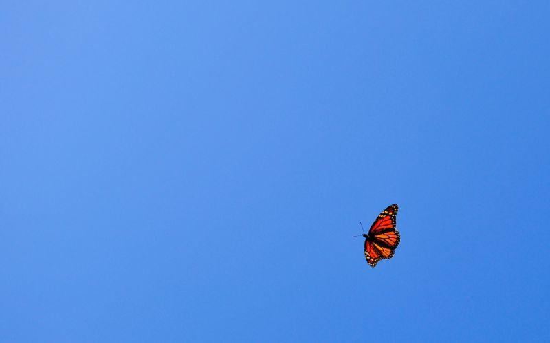 flying butterfly orange blue sky wallpaper